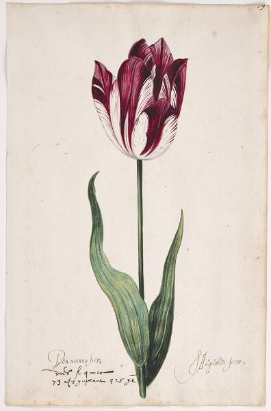 Great Tulip Book: Den Manuasier-S. Augustus Jacot
