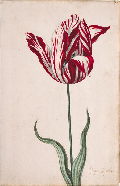 Great Tulip Book: Semper Augustus
